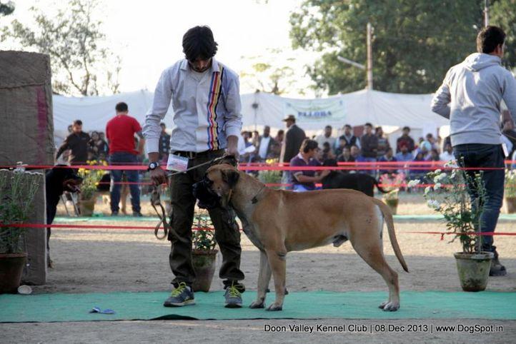 mastiff- english,sw-103,, Dehradun Dog Show 2013, DogSpot.in
