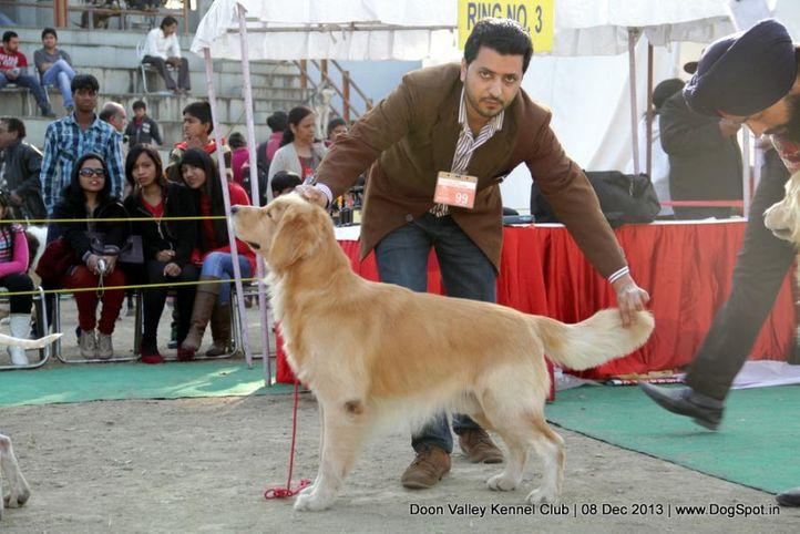 golden retriever,sw-103,, Dehradun Dog Show 2013, DogSpot.in