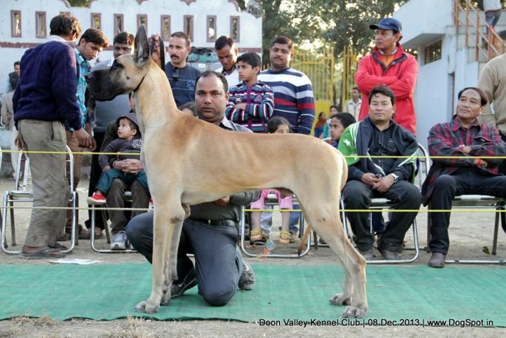 great dane,sw-103,, Dehradun Dog Show 2013, DogSpot.in
