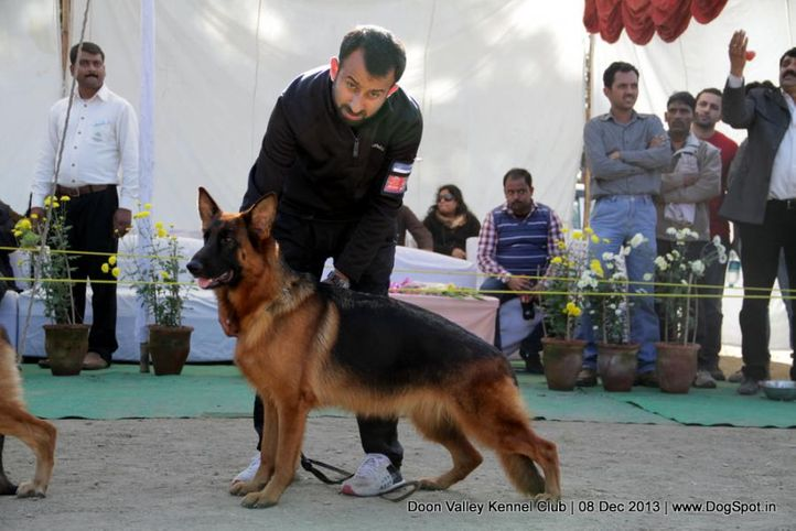alsatian,gsd,sw-103,, Dehradun Dog Show 2013, DogSpot.in