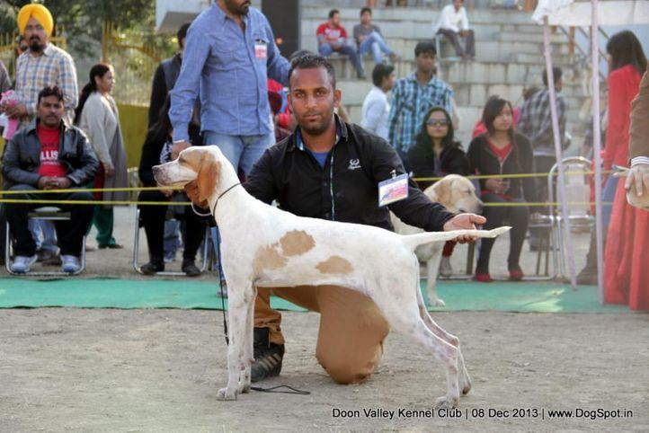 pointer,sw-103,, Dehradun Dog Show 2013, DogSpot.in