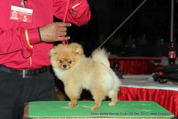 pomeranian,sw-103,, Dehradun Dog Show 2013, DogSpot.in