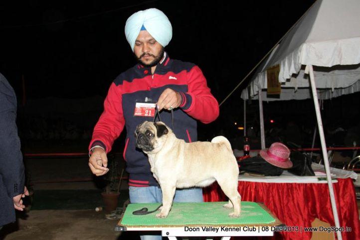 pug,sw-103,, Dehradun Dog Show 2013, DogSpot.in