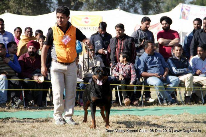 rottweiler,sw-103,, Dehradun Dog Show 2013, DogSpot.in
