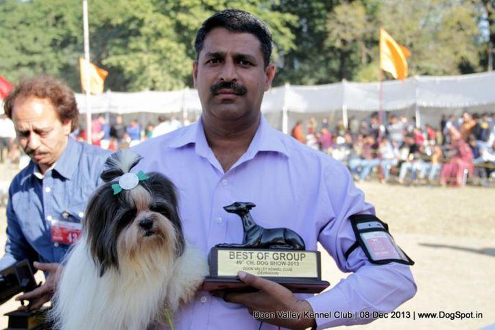 shihtzu,sw-103,, Dehradun Dog Show 2013, DogSpot.in