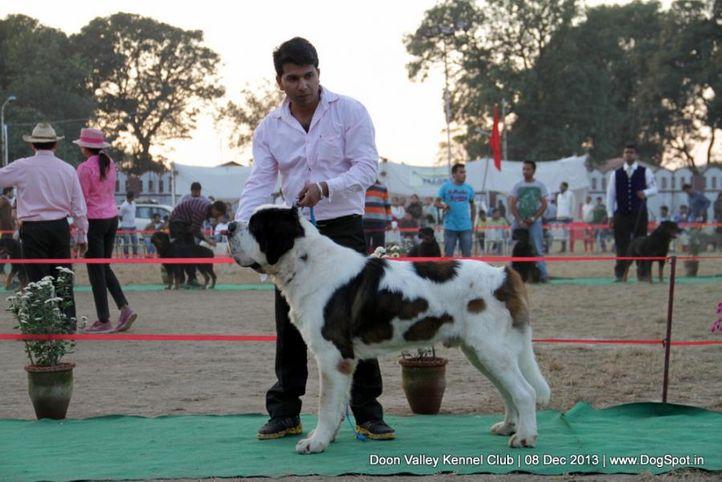 st bernard,sw-103,, Dehradun Dog Show 2013, DogSpot.in