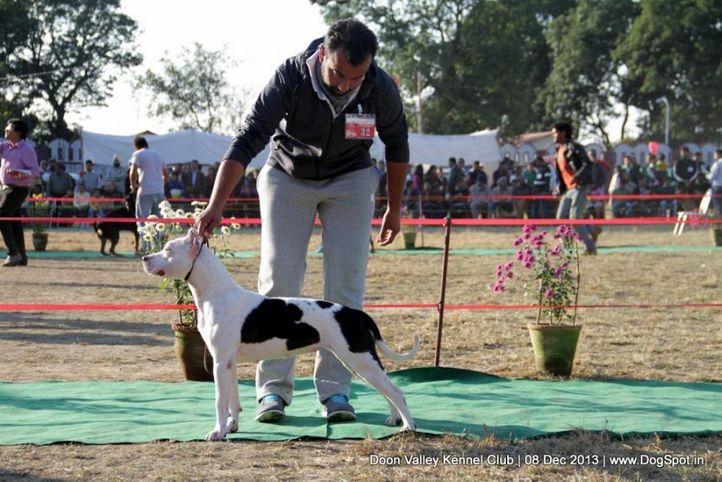 staffordshire bull terrier,sw-103,, Dehradun Dog Show 2013, DogSpot.in