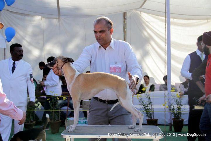 sw-103,whippet,, Dehradun Dog Show 2013, DogSpot.in
