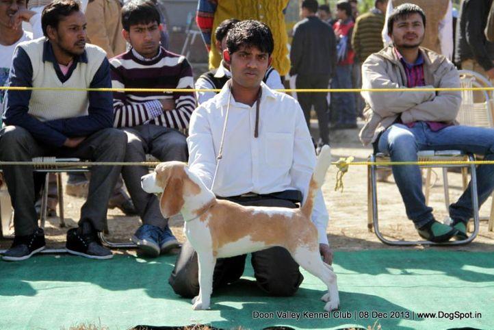 beagle,sw-103,, Dehradun Dog Show 2013, DogSpot.in