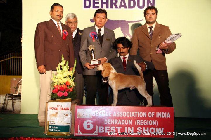 beagle,beagle lineup,sw-103,, Dehradun Dog Show 2013, DogSpot.in