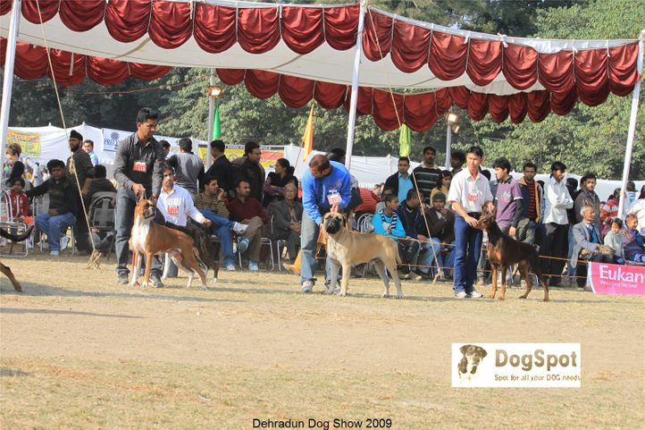Boxer,Doberman,Mastiff,Working Group,, Dehradun Dog Show, DogSpot.in