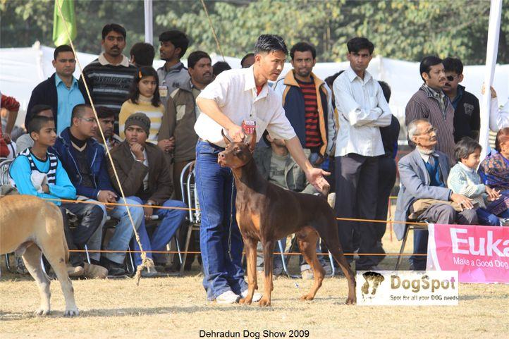 Doberman,Working Group,, Dehradun Dog Show, DogSpot.in