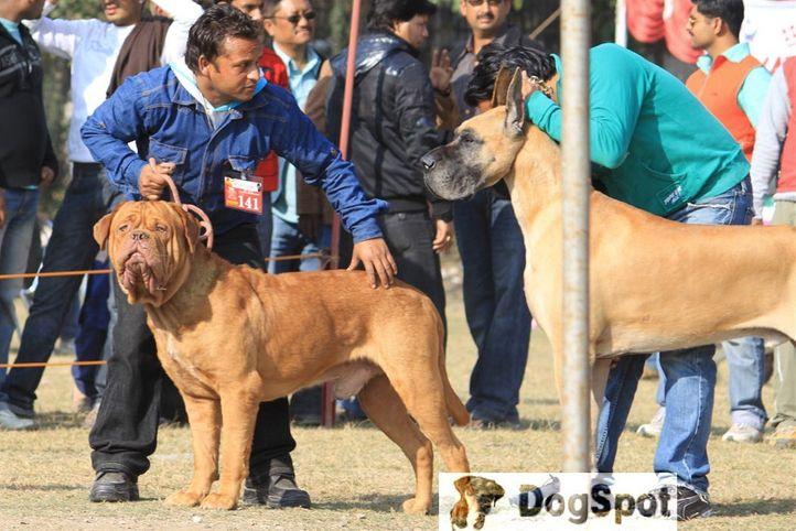 Great Dane,Group Judging,Mastiff,Working Group,, Dehradun Dog Show, DogSpot.in