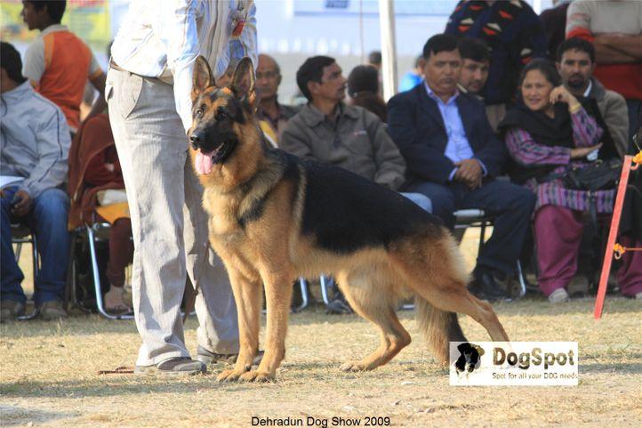 Alsatian,GSD,Zarno,, Dehradun Dog Show, DogSpot.in
