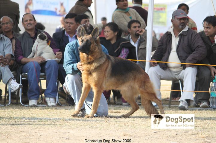 Alsatian,GSD,, Dehradun Dog Show, DogSpot.in