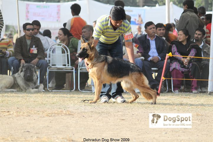 Alsatian,Dixi of Zedex,GSD,, Dehradun Dog Show, DogSpot.in