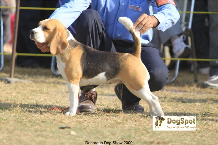 Beagle,Hounds,, Dehradun Dog Show, DogSpot.in