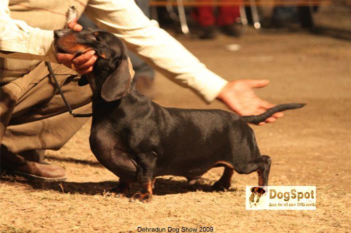 BIS,Dachshund,Line up,, Dehradun Dog Show, DogSpot.in