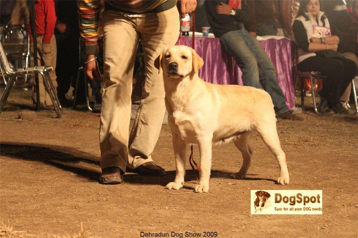 BIS,Labrador Retriever,Line up,, Dehradun Dog Show, DogSpot.in