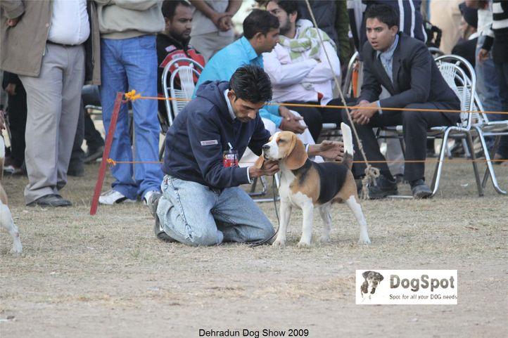 Beagle,Hounds,, Dehradun Dog Show, DogSpot.in