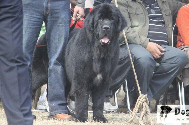 Newfoundland,, Dehradun Dog Show, DogSpot.in