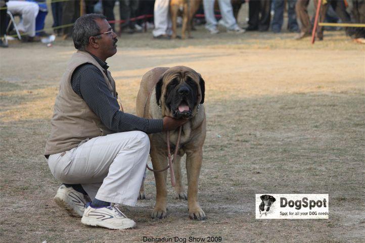 Mastiff,, Dehradun Dog Show, DogSpot.in