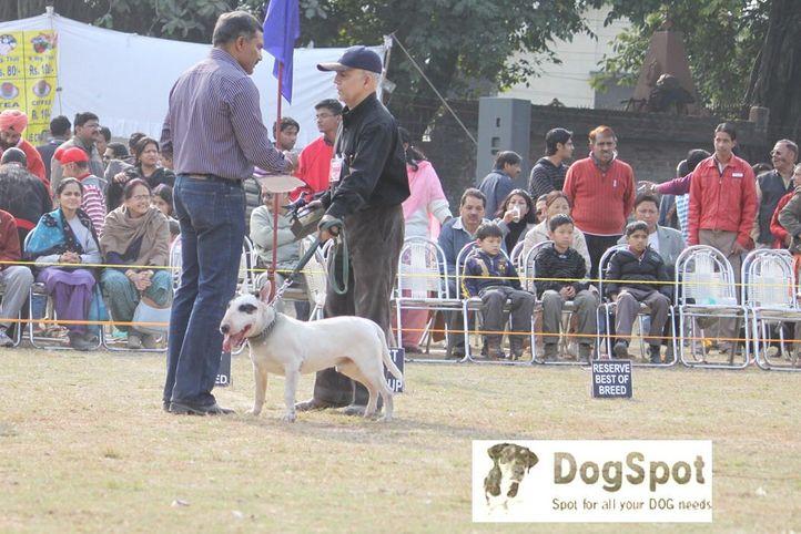 Bull Terrier,Terrier,, Dehradun Dog Show, DogSpot.in