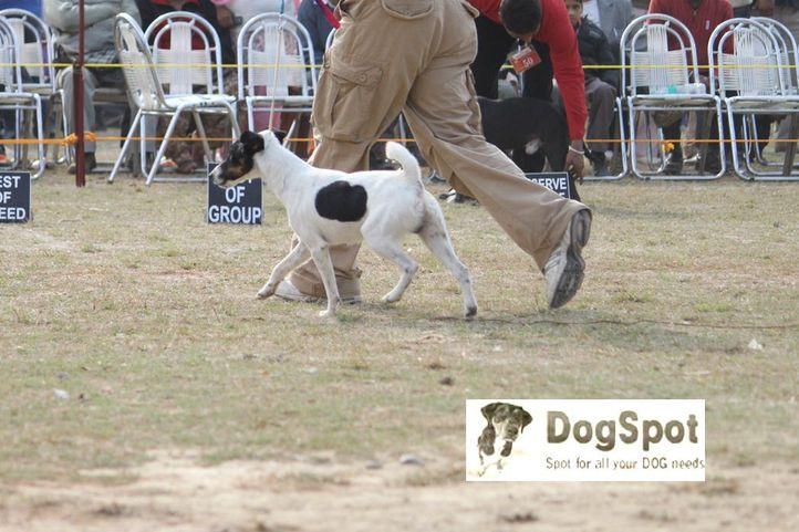 Terrier,, Dehradun Dog Show, DogSpot.in