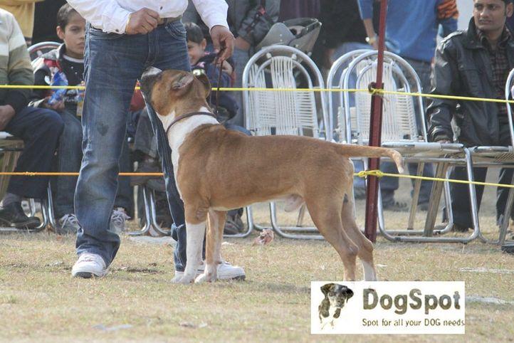 Staffordshire Terrier,Terrier,, Dehradun Dog Show, DogSpot.in