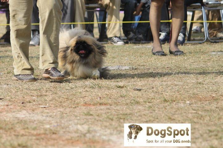 Pekingese,, Dehradun Dog Show, DogSpot.in