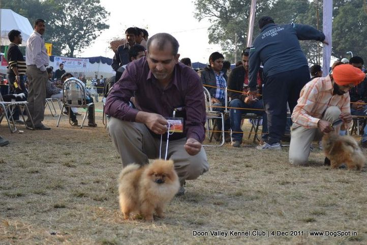 pomeranian,sw-47,, Dehradun Dog Show, DogSpot.in