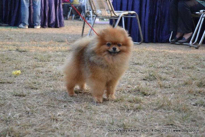 ex-248,pomeranian,sw-47,, Dehradun Dog Show, DogSpot.in