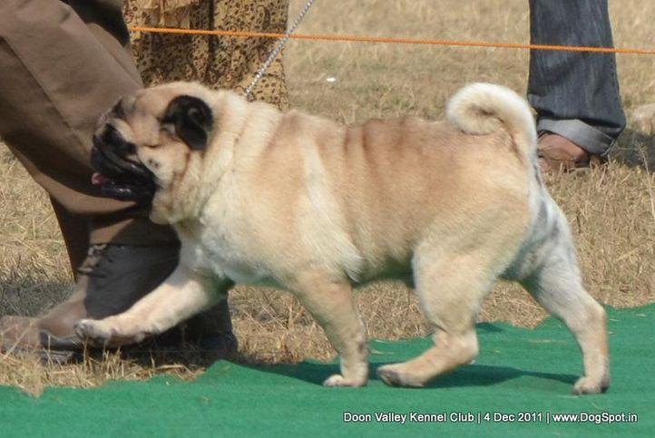 ex-35,pug,sw-47,, CH. Blazing Boy of Sunnyland, Pug, DogSpot.in