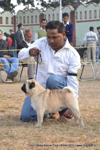pug,sw-47,, Dehradun Dog Show, DogSpot.in