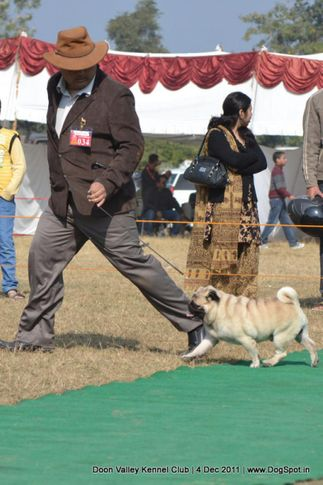 ex-34,pug,sw-47,, CH. WRINKLE PURSUIT OF HAPPINESS, Pug, DogSpot.in
