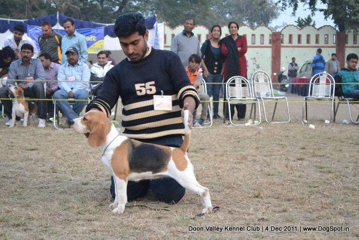 beagle,sw-47,, Dehradun Dog Show, DogSpot.in
