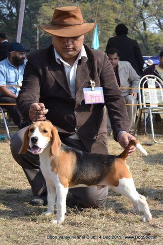 beagle,ex-55,sw-47,, KARTBRIJ'S WHO'S FAMOUS NOW, Beagle, DogSpot.in