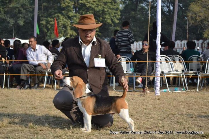 beagle,ex-55,sw-47,, KARTBRIJ'S WHO'S FAMOUS NOW, Beagle, DogSpot.in