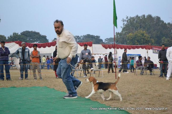 beagle,ex-60,sw-47,, YEOMAN'S BOOGIE WOOGIE, Beagle, DogSpot.in