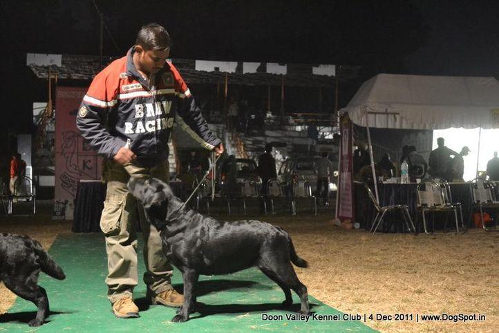 labrador,sw-47,, Dehradun Dog Show, DogSpot.in