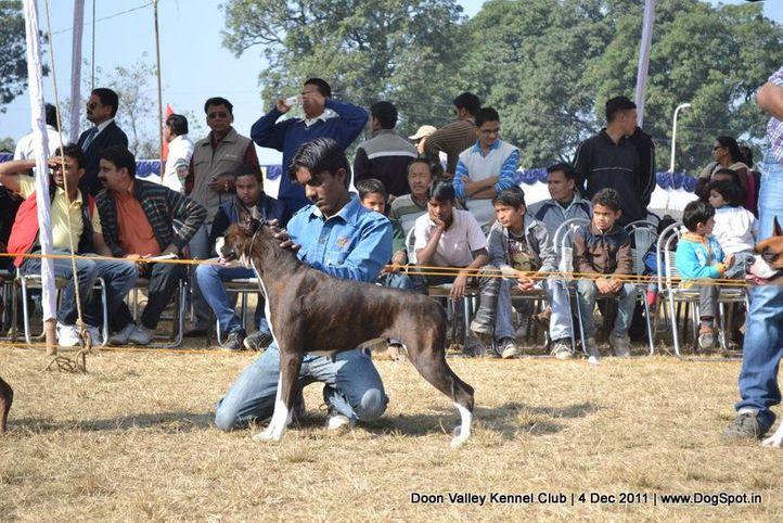 boxer,sw-47,, Dehradun Dog Show, DogSpot.in