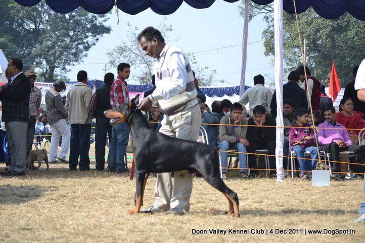 doberman,sw-47,, Dehradun Dog Show, DogSpot.in