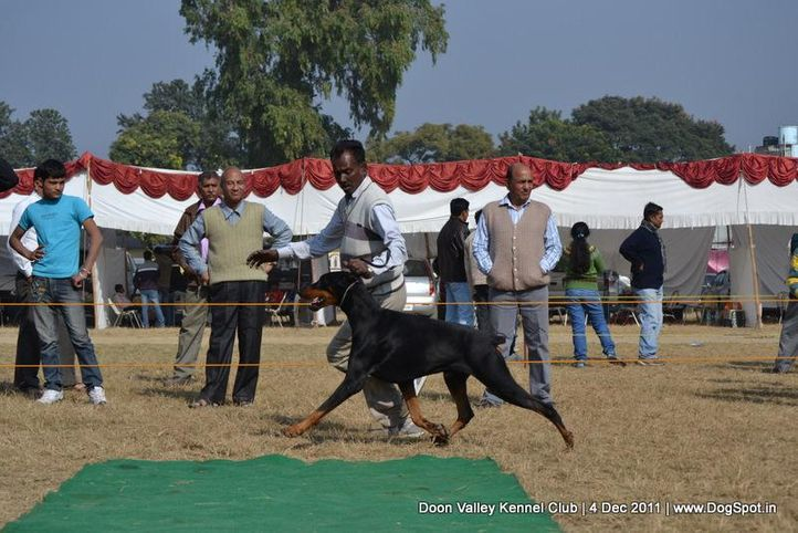 doberman,sw-47,, Dehradun Dog Show, DogSpot.in