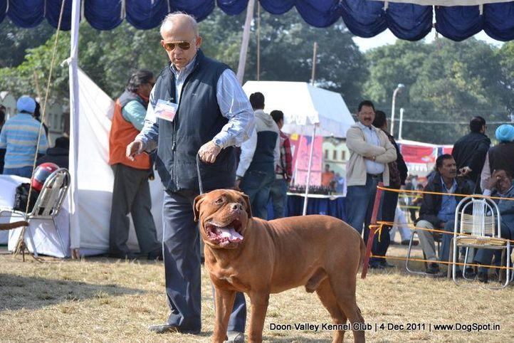 mastiff,sw-47,, Dehradun Dog Show, DogSpot.in