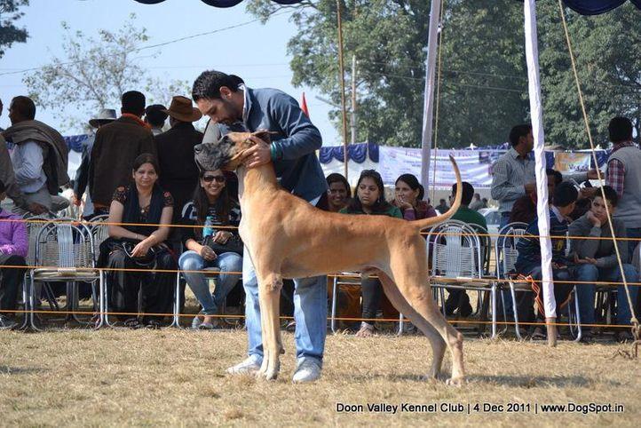 great dane,sw-47,, Dehradun Dog Show, DogSpot.in