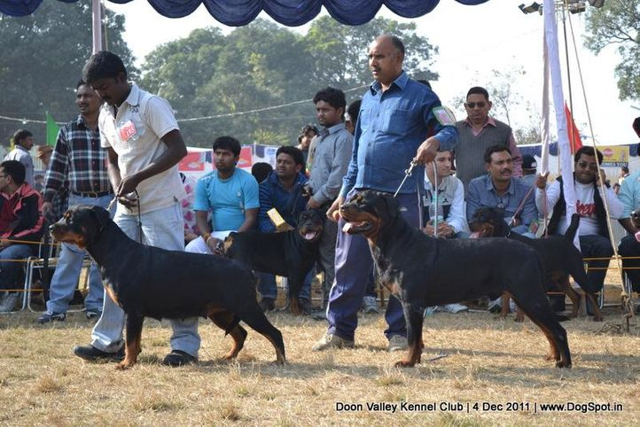 ex-195,rottweiler,sw-47,, CH Grewal`s Security, Rottweiler, DogSpot.in