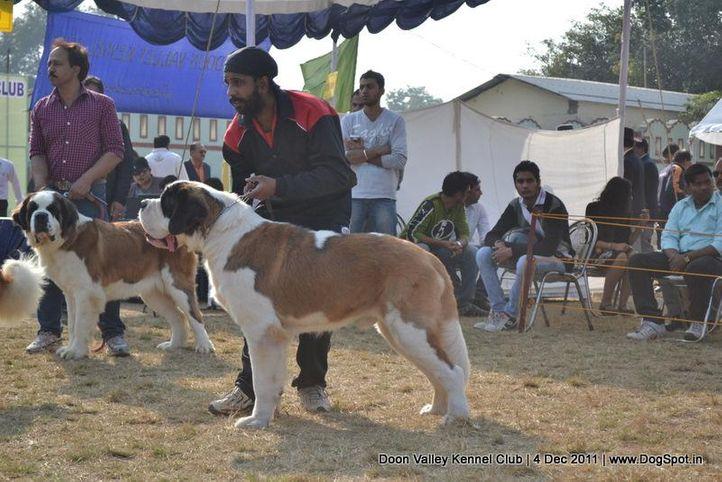 st bernard,sw-47,, Dehradun Dog Show, DogSpot.in