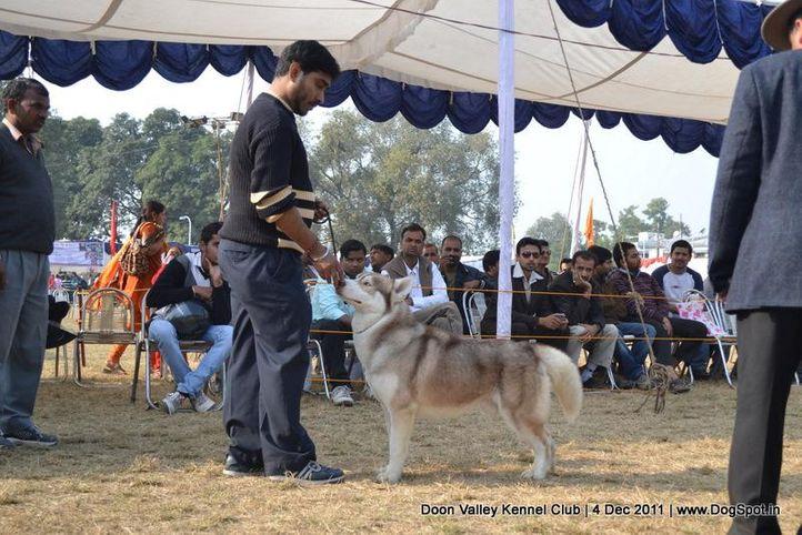 siberian husky,sw-47,, Dehradun Dog Show, DogSpot.in