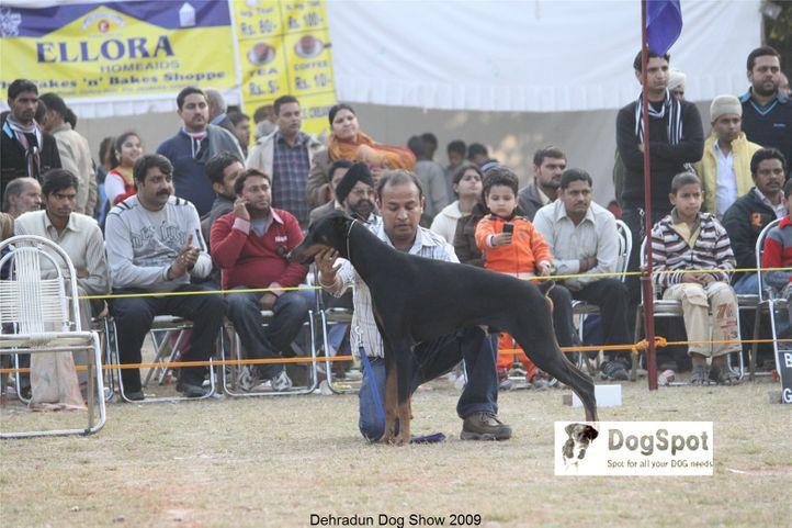 Doberman,, Dehradun Dog Show, DogSpot.in