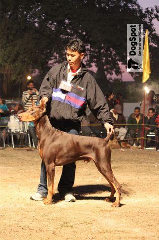 Doberman,Jatins Amos,, Dehradun Dog Show, DogSpot.in